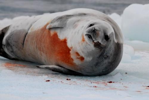 Crabeater Seal with Krill Smeared on its Stomach