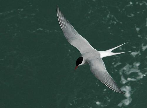 Arctic Tern in Summer Breeding Plumage (Photo from Spitsbergen, Norway)