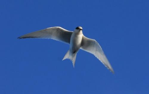 Arctic Tern - Long Distance Migrant