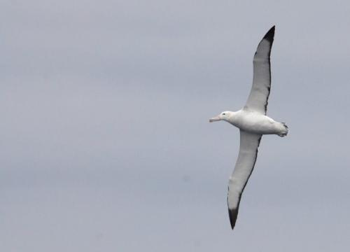 Wandering Albatross. Widest wingspan of any living bird!