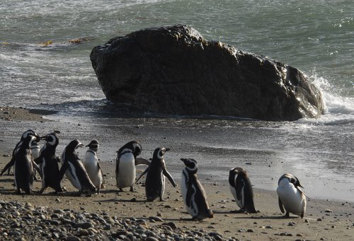 Magallan Penguins on the South Coast of Chile