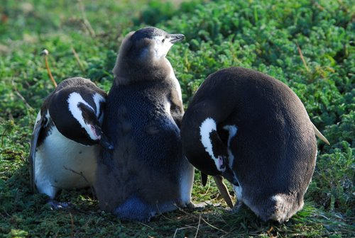 Penguin Parents Preaning Their Chick