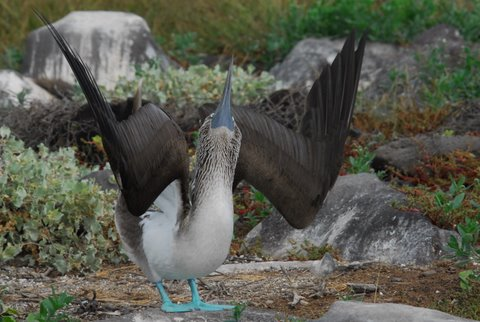 Blue-footed Booby Displaying on the Breeding Grounds, Galapagos Islands