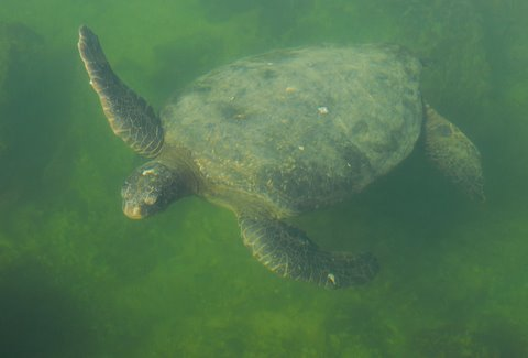 Green Sea Turtle, Galapagos Islands