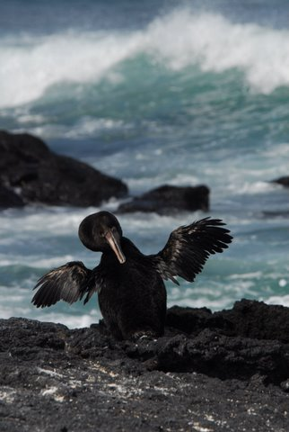 Flightless Cormorant, Galapagos Islands
