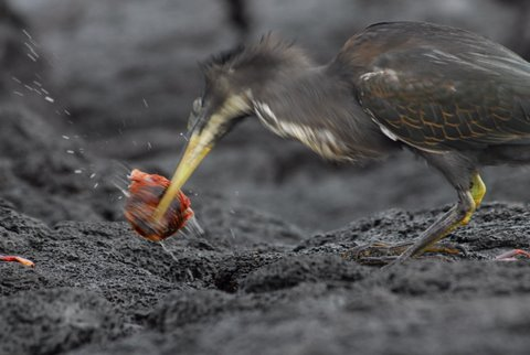 Lava Heron Preying on Sally Lightfoot Crab